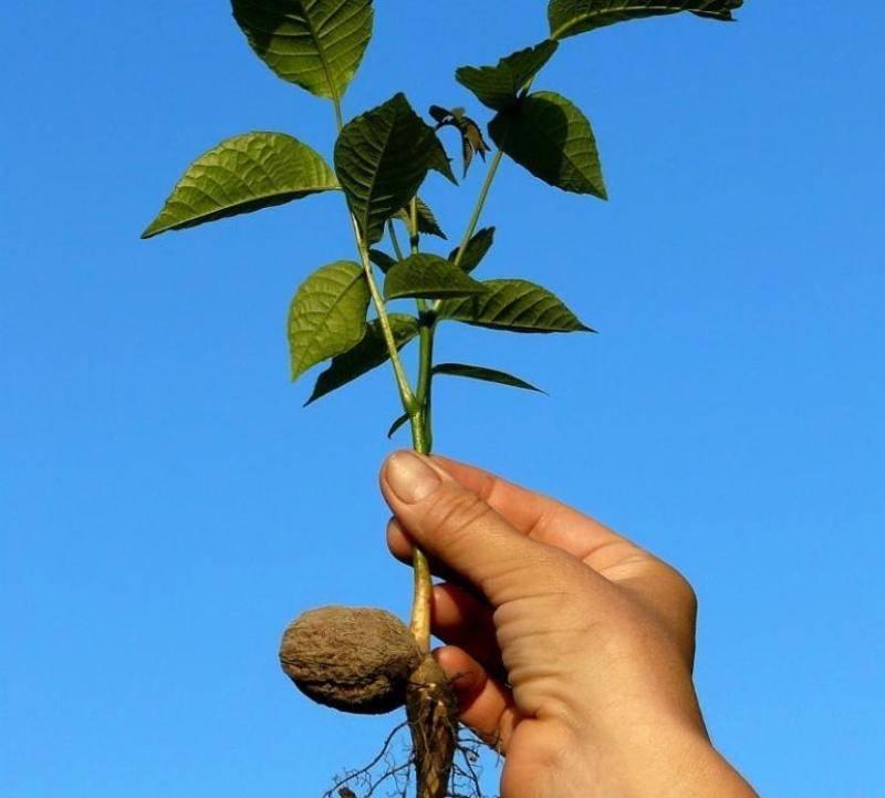Как плодоносит грецкий орех: через сколько лет, как обрезать, когда собирать урожай