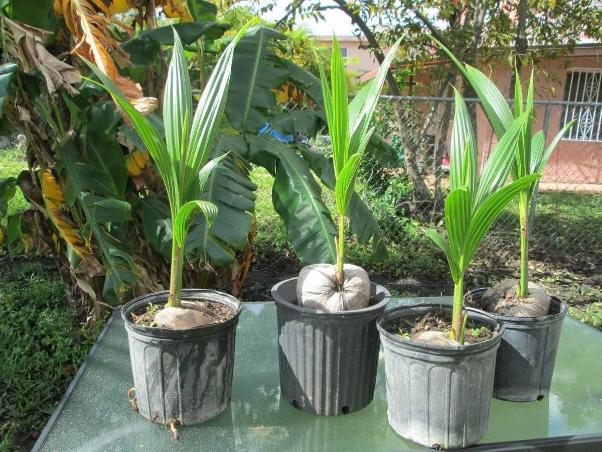 Сколько растет пальма: в природе и в домашних условиях?