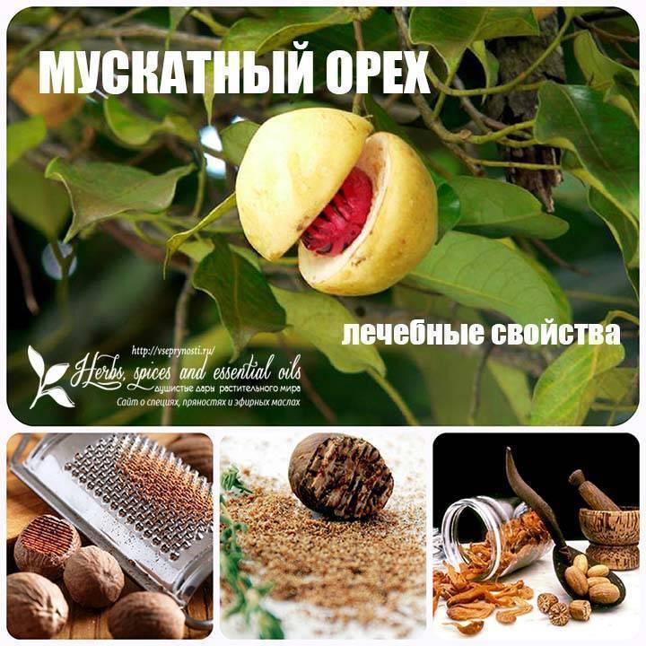 Мускатный орех: в чем заключаются полезные свойства и противопоказания ароматной специи