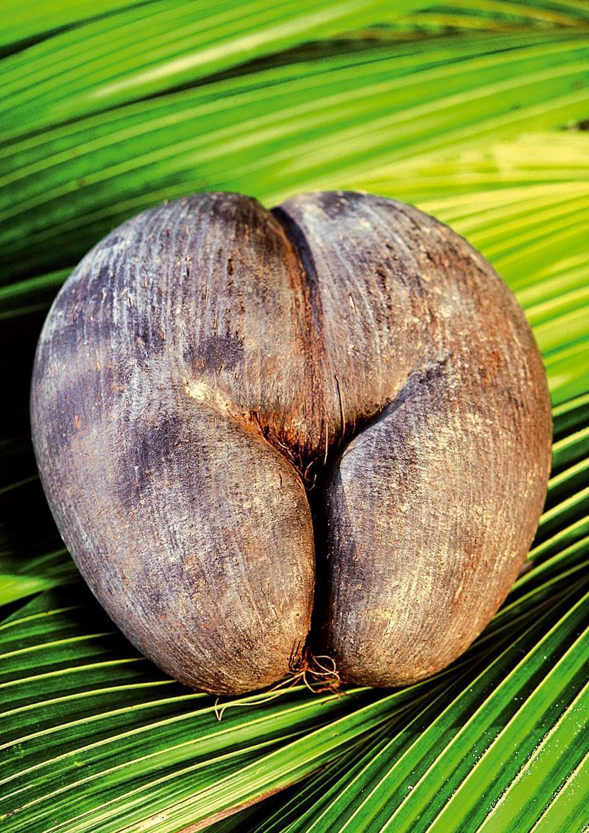 Сейшельский орех: польза, вред, как едят коко-де-мер, рецепты
