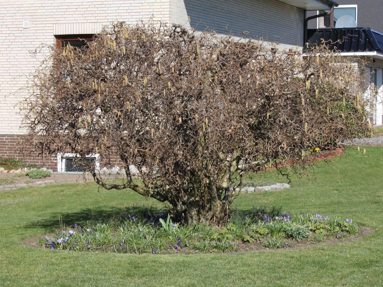 Орешник — это кустарник или дерево? описание орешника и фото : labuda.blog
