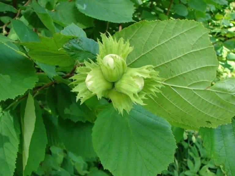 Как цветет фундук (лещина), биологические особенности лесного ореха — хроники процветании