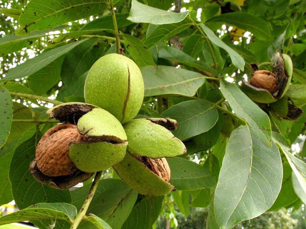 Чем полезен грецкий орех для мужчин и женщин - свойства и состав, применение для лечения организма