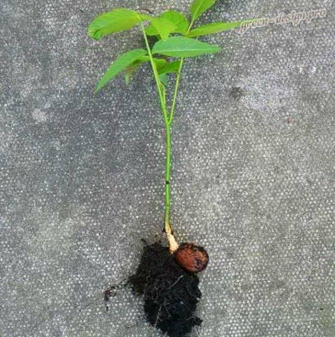 Проращивание грецких орехов для посадки в домашних условиях