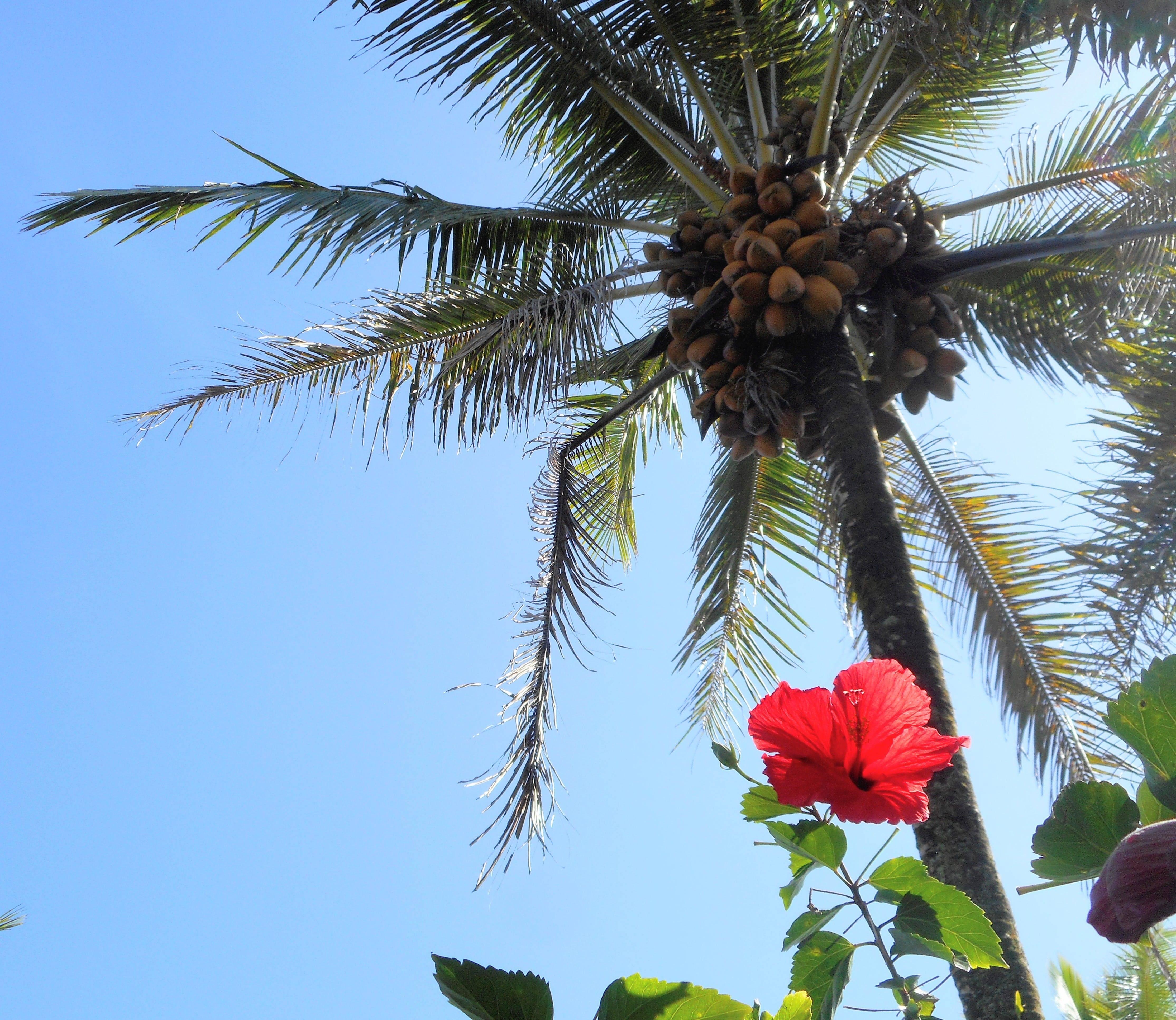 Дерево кокосовая пальма — дерево, которое внесет тепло тропиков в ваш дом!