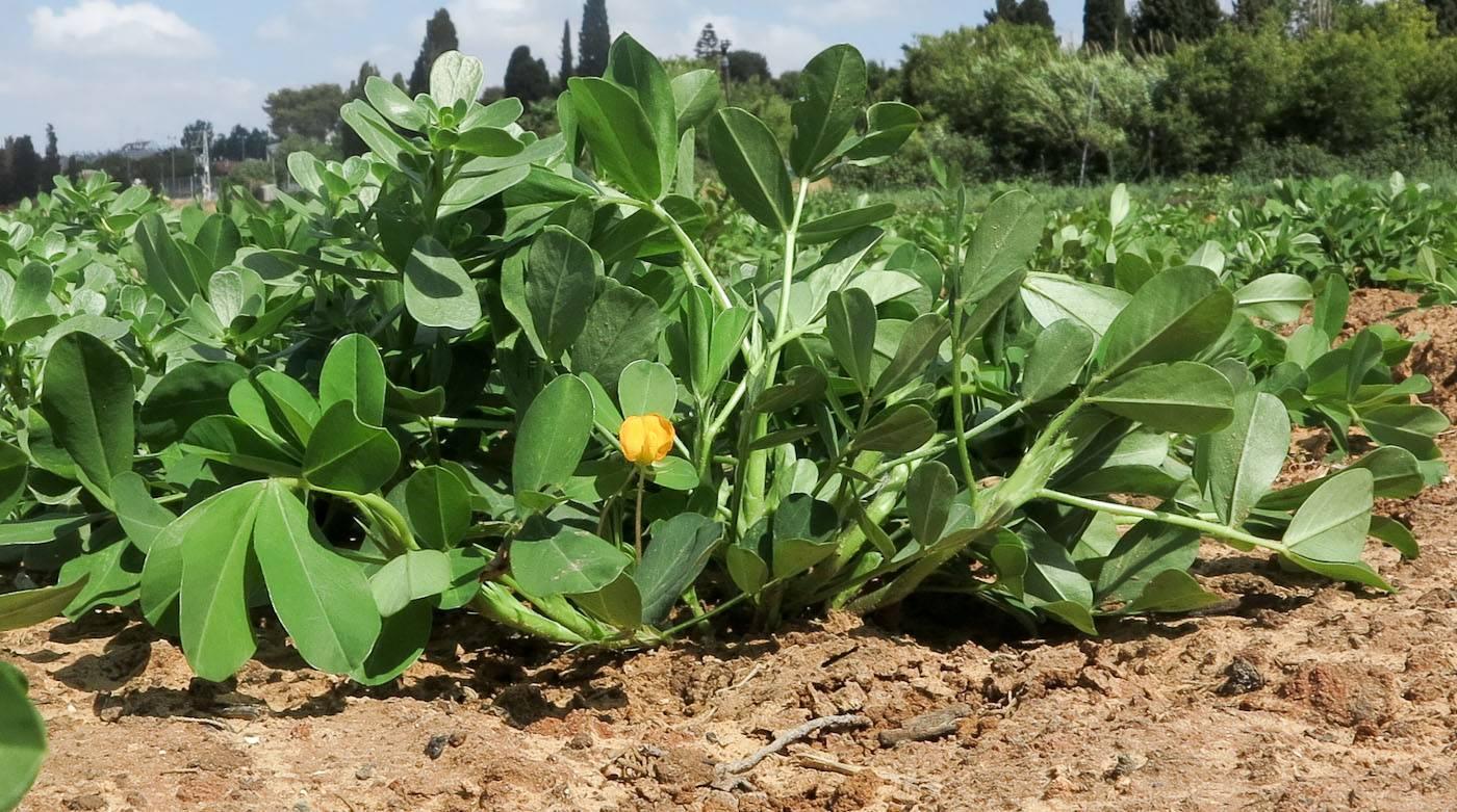Как растет арахис в природе