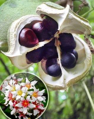Самый красивоцветущий орех — чекалкин. описание, морозостойкость, алгоритм выращивания