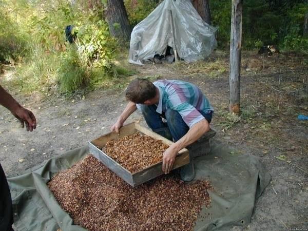 Польза кедровых орехов для организма   травник