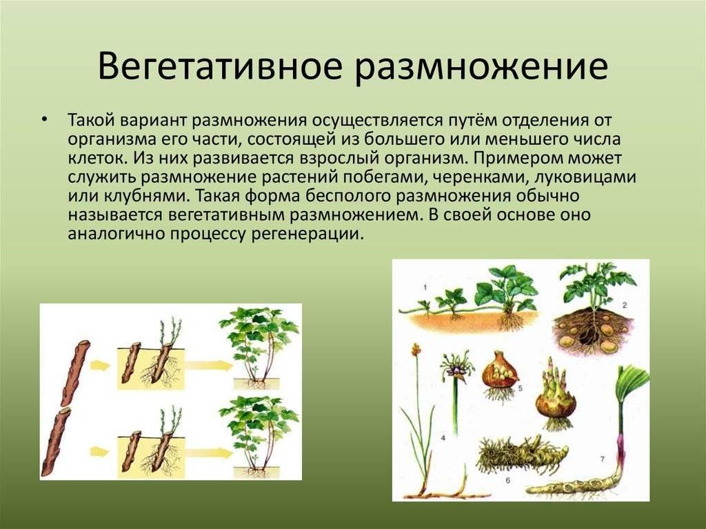 Вегетативное размножение: природные и искусственые способы