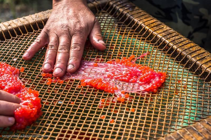 Способ консервирования икры лососевых рыб