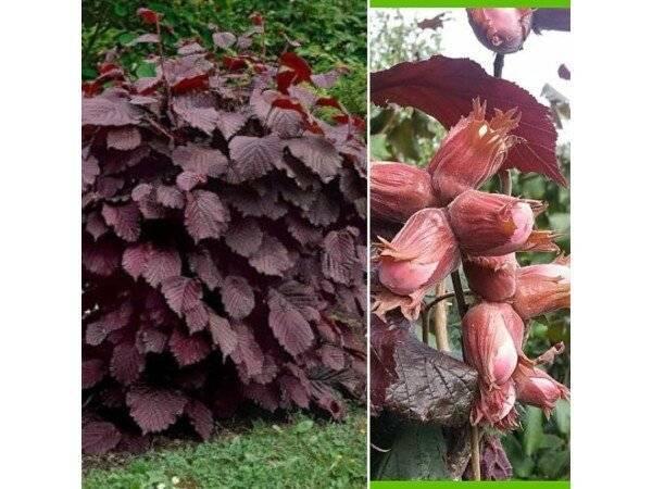 Сорта фундука с красными листьями | огородники