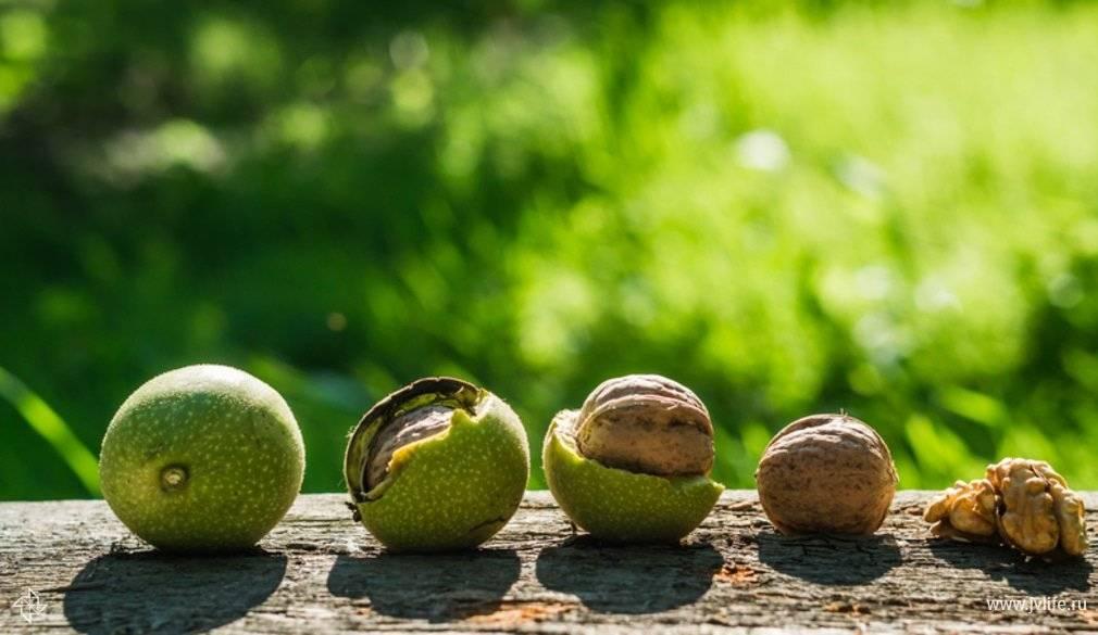 Бизнес на выращивании орехового сада, промышленное выращивание грецкого ореха в украине