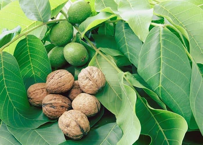 Грецкие орехи: польза и вред, состав, применение