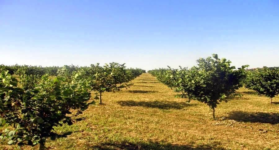Промышленное выращивание фундука в россии — портал ореховод
