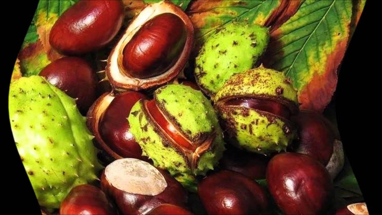 Как вырастить каштан из семени ореха осенью дома