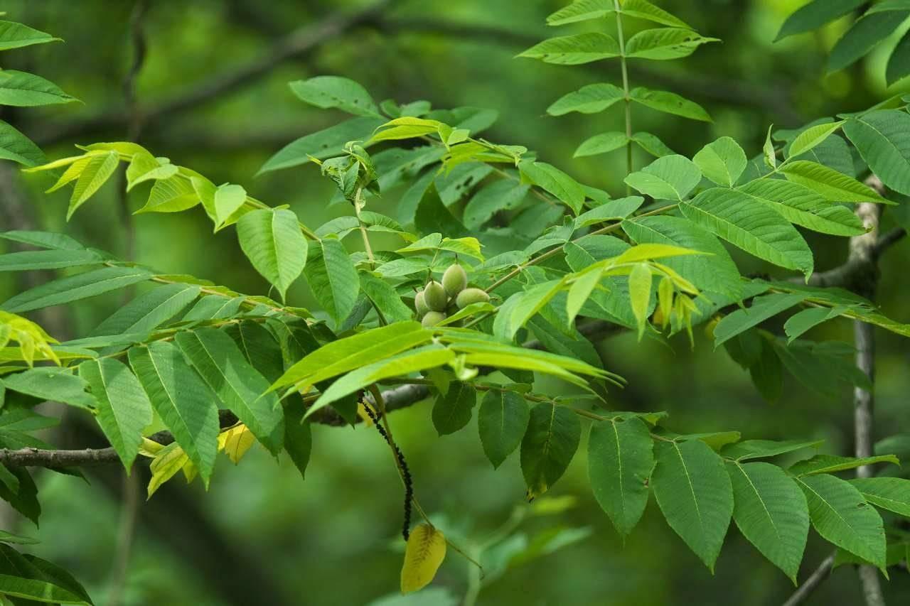 Маньчжурский орех: посадка, выращивание и уход в подмосковье