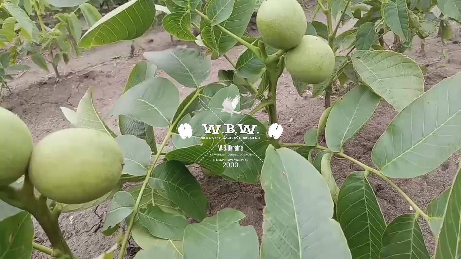 Скороплодные сорта грецкого ореха и уход за ними