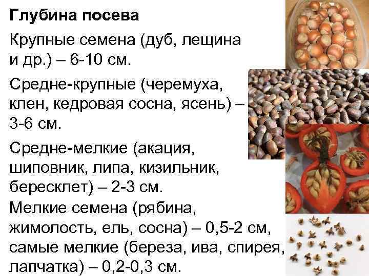 Промышленное выращивание фундука в россии
