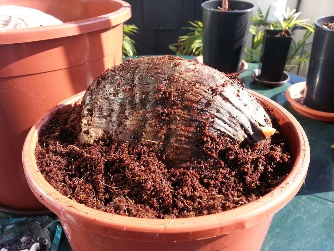 Пальма ховея уход в домашних условиях фото выращивание из семян размножение отростками