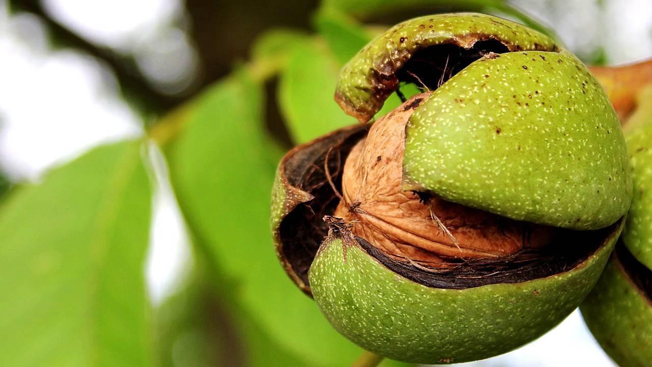 Грецкий орех в подмосковье, посадка и уход, болезни и удобрения сорта, выращивание и размножение, фото