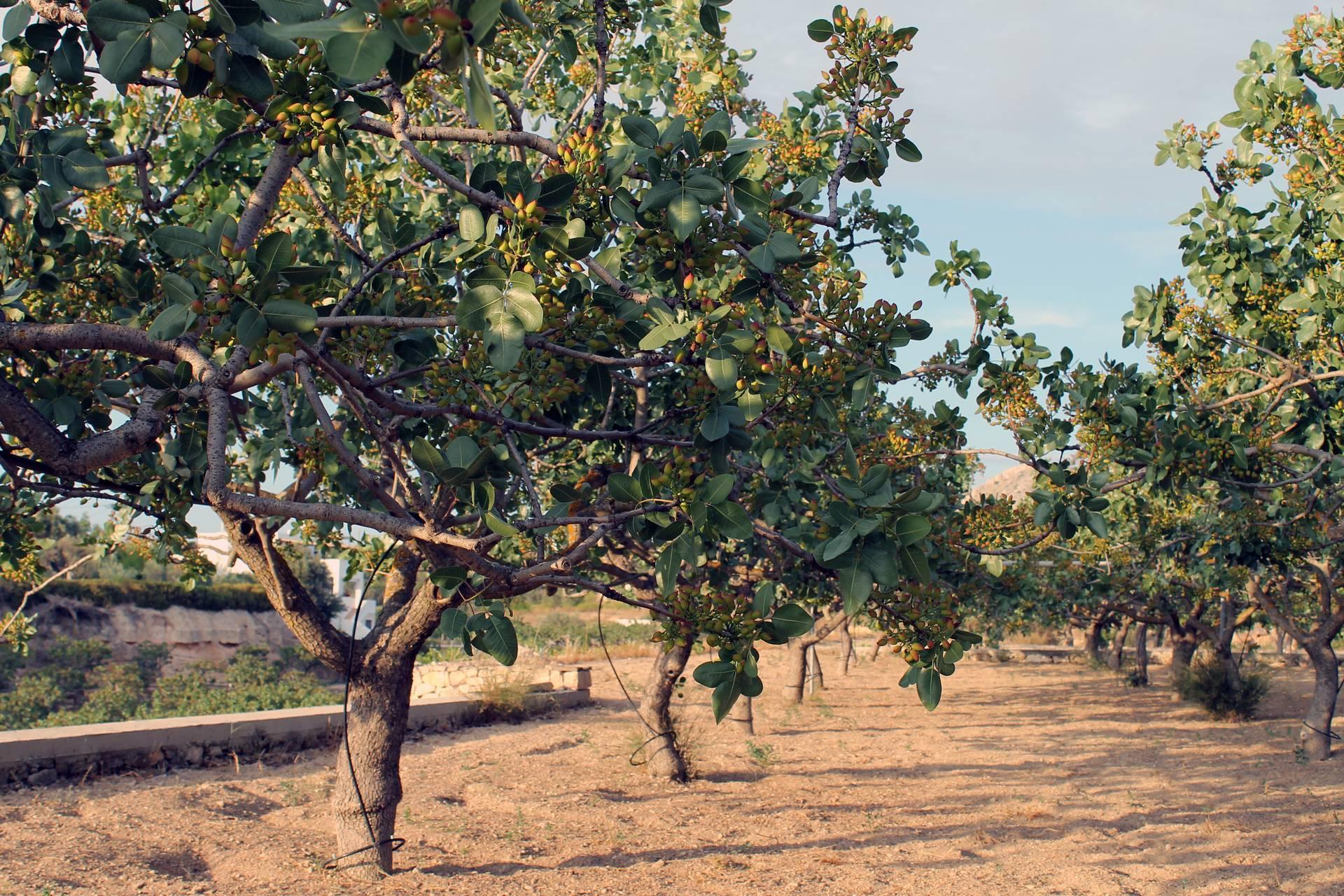 Как собирают орехи кешью и как ведется их переработка: как производят в промышленных масштабах, добывают дома, и время сбора урожая