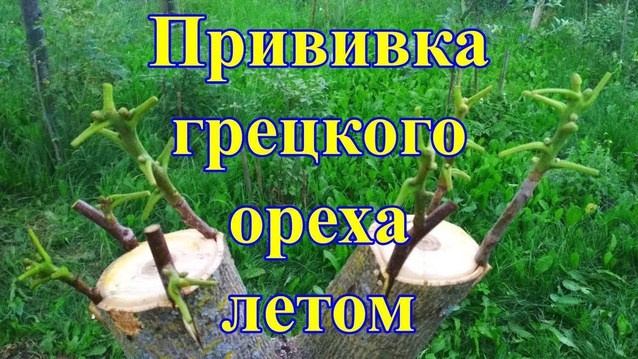 Прививка грецкого ореха: весной, летом, зимой, способы