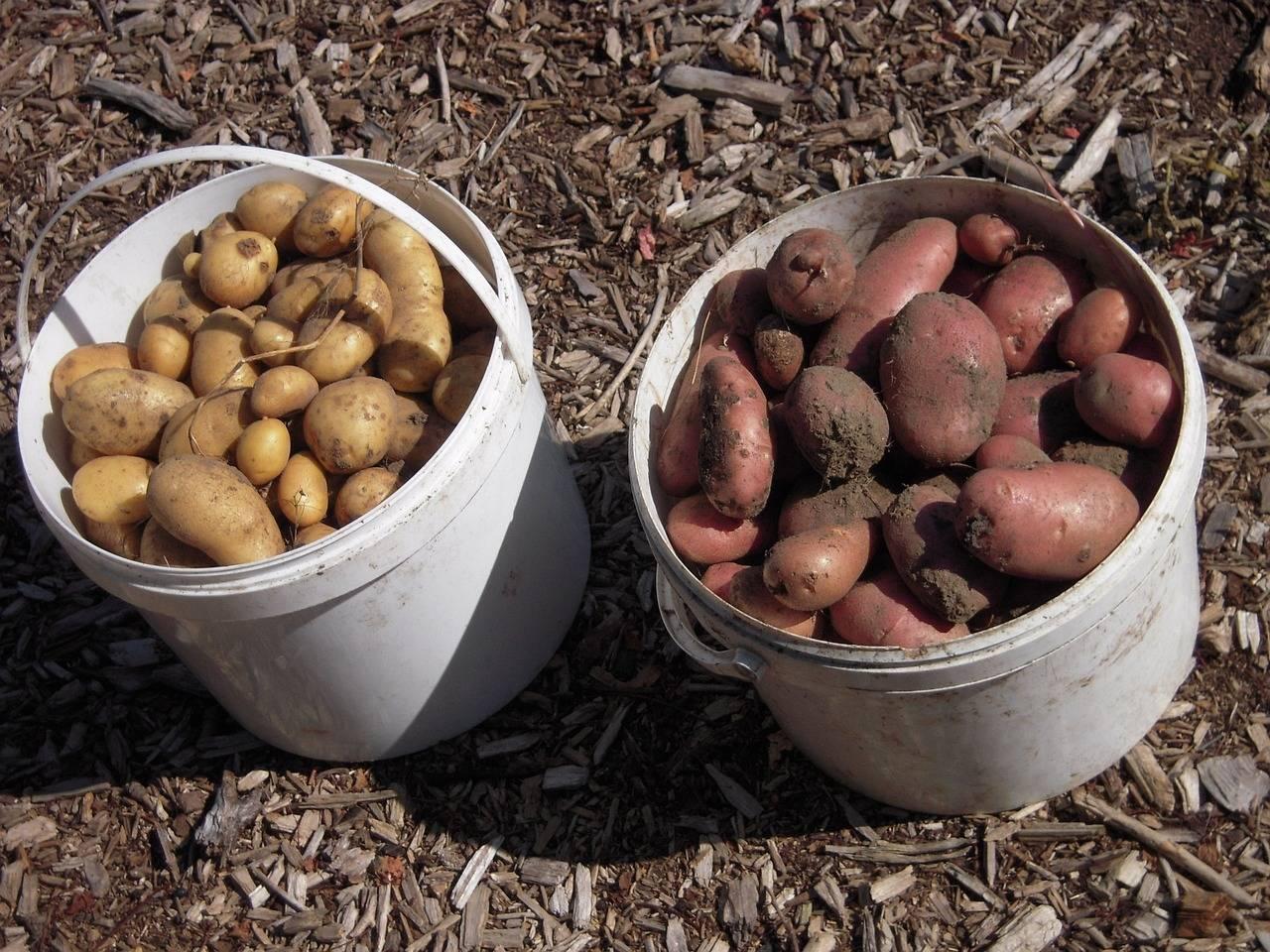 Особенности выращивания насаждений грецкого ореха с междурядным заполнением — портал ореховод