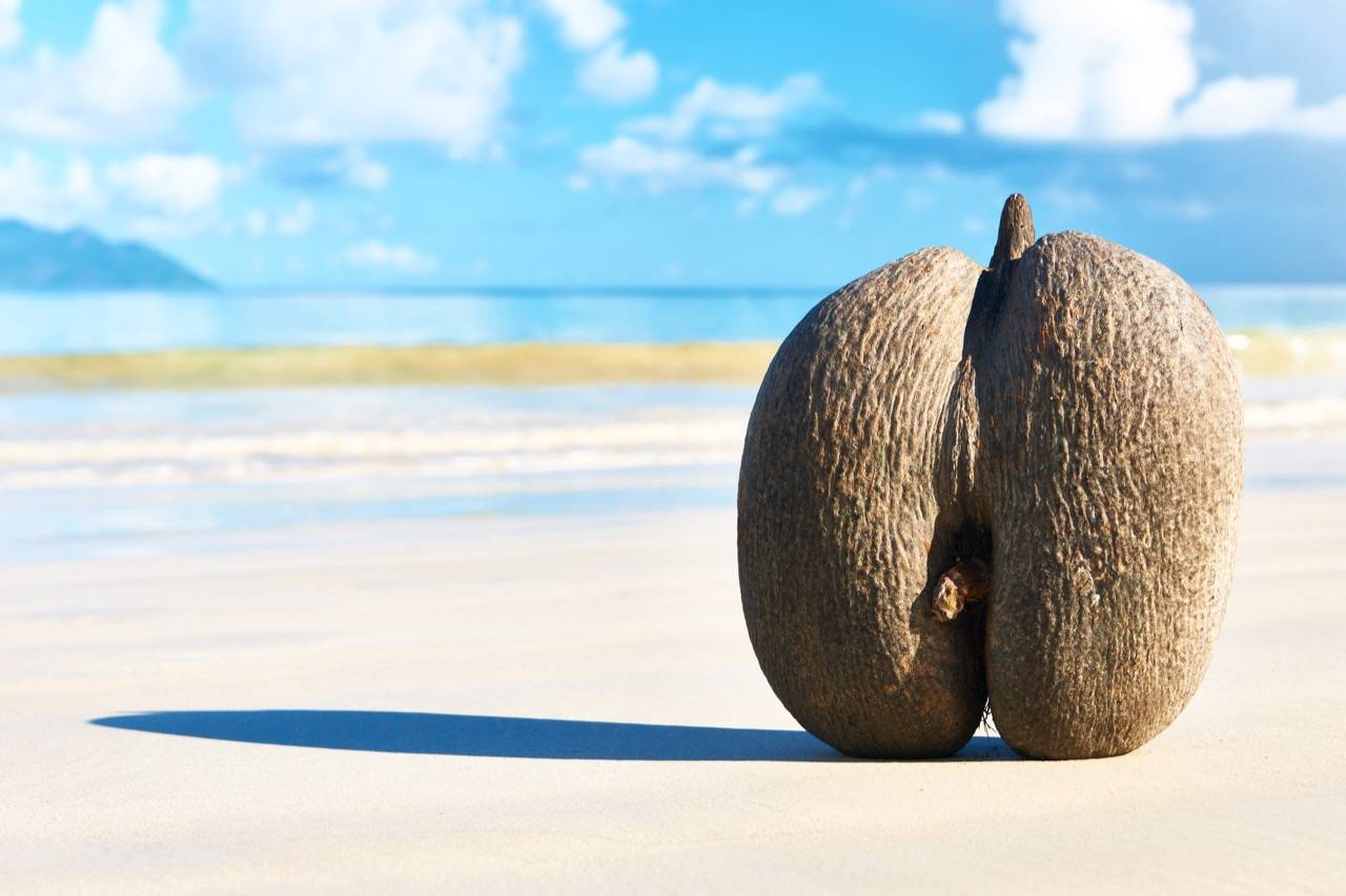Кокос: это фрукт, орех, ягода или овощ, что такое, к чему относится, как выглядит плод, ядро, дерево и листья, как цветет пальма, и строение, высота самой большой