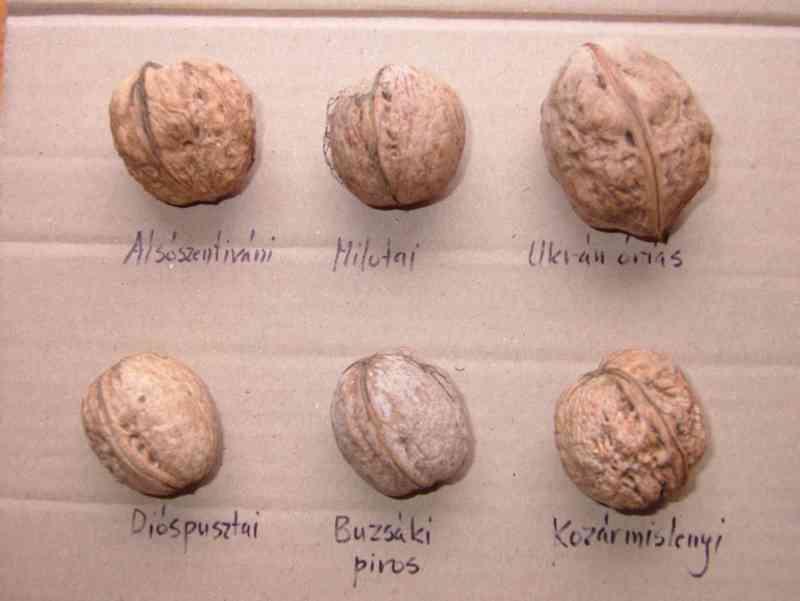 Грецкий орех «астаховский»: описание сорта, внешний вид, польза и вред, болезни и вредители, а также особенности выращивания