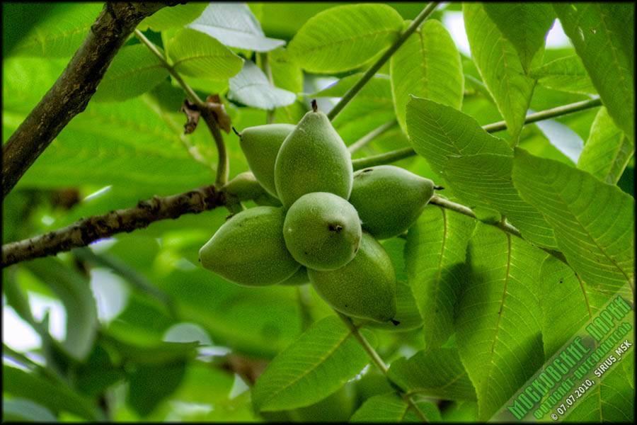 Орех серый — википедия. что такое орех серый