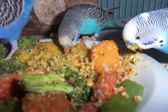 Можно ли кормить волнистого попугая только готовым кормом