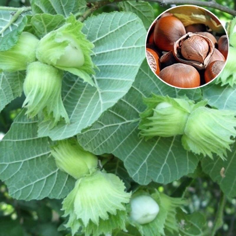 Орехи в сибири. лещина, или фундук - сад