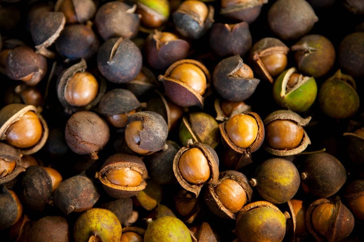 Орех кукуи: описание, состав, польза | food and health