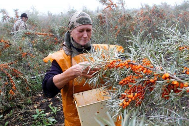 Уборка капусты белокочанной: время и сроки сбора урожая на зимнее хранение