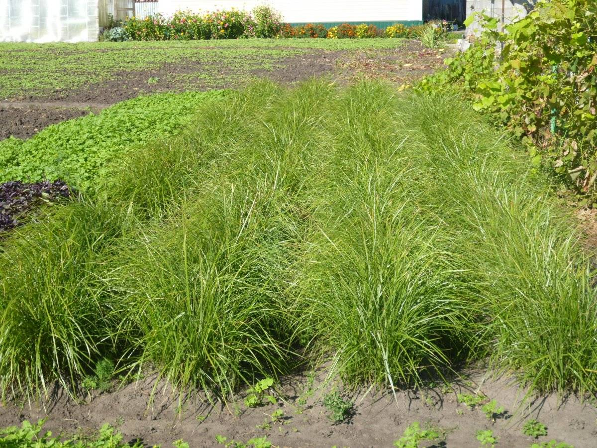 Чуфа (земляной миндаль): выращивание, посадка и уход, полезные свойства