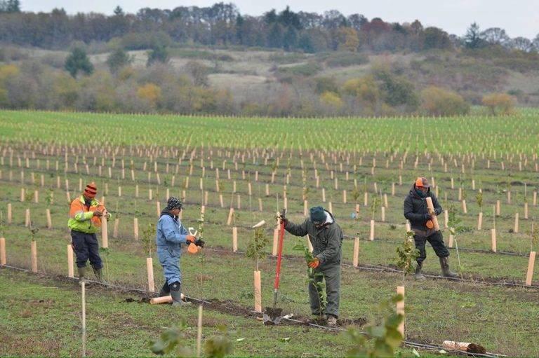 Выращивание фундука, условия выращивания ореха фундука в польше — пропозиция