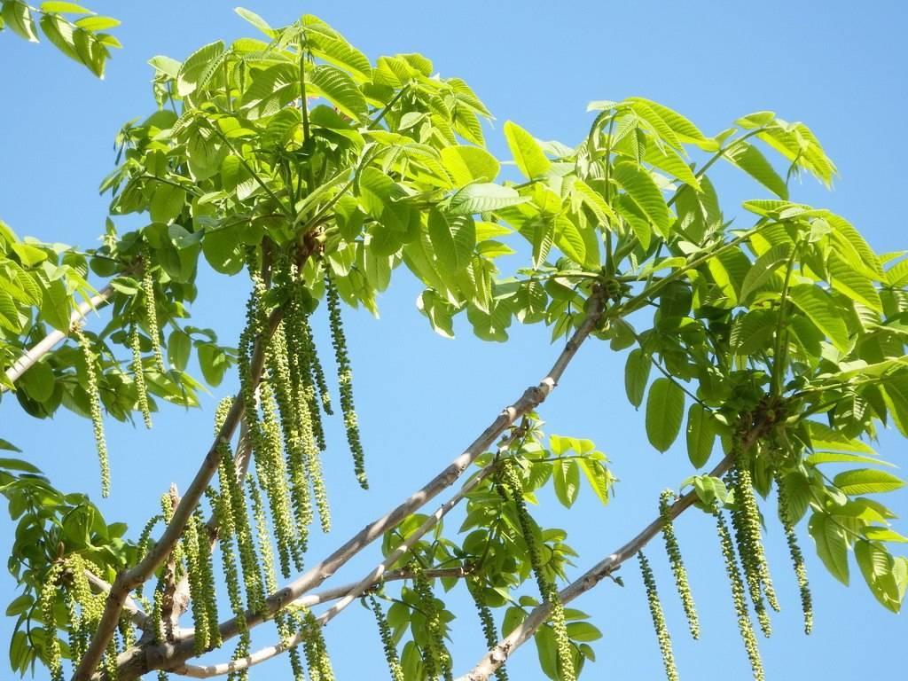 Маньчжурский орех: описание, цветение и внешний вид