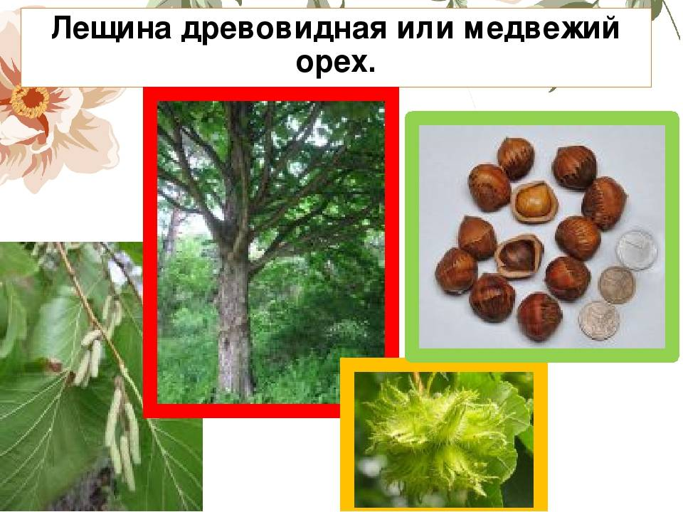 Описание и использование медвежьего ореха