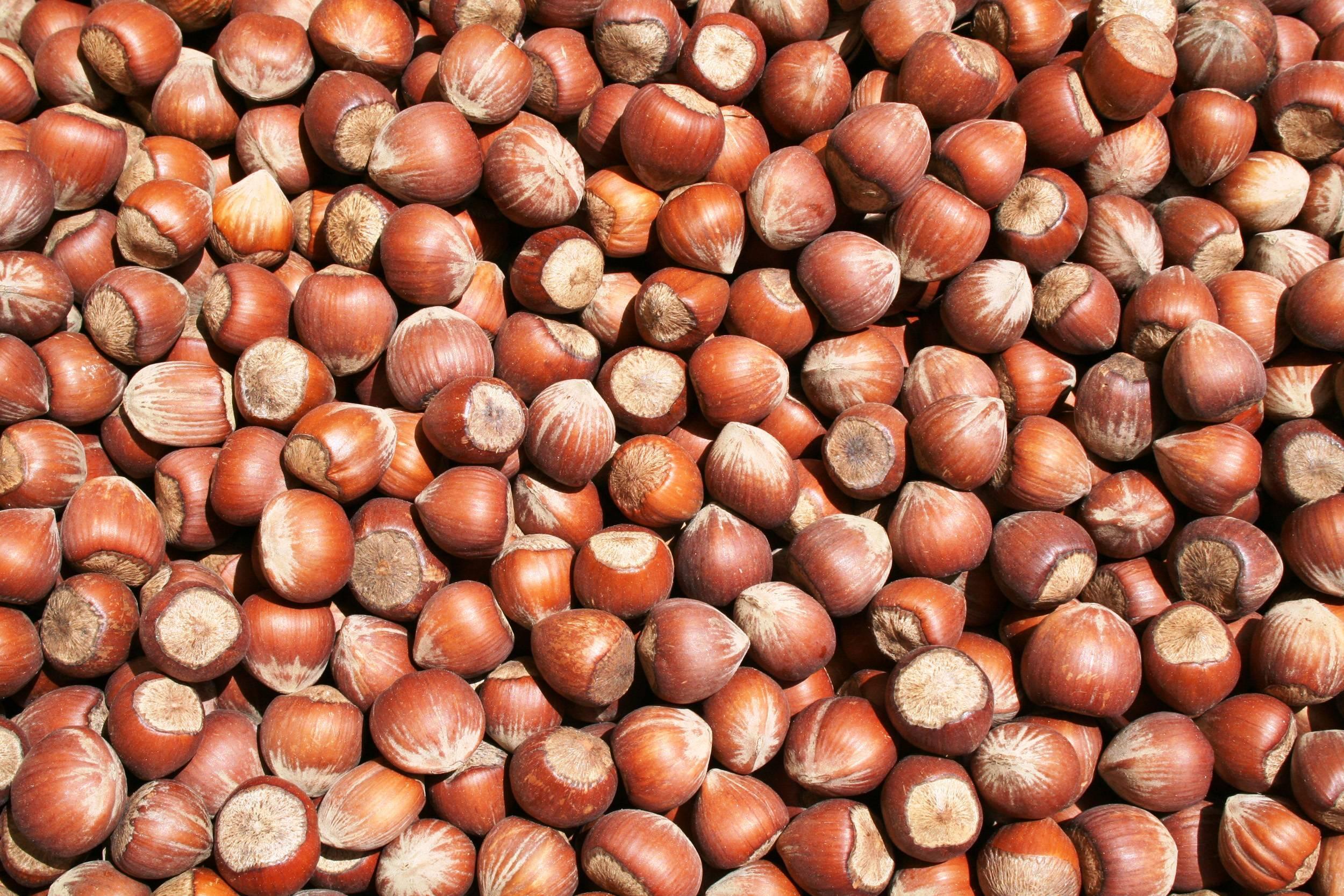 Как растет фундук орех фото дерева