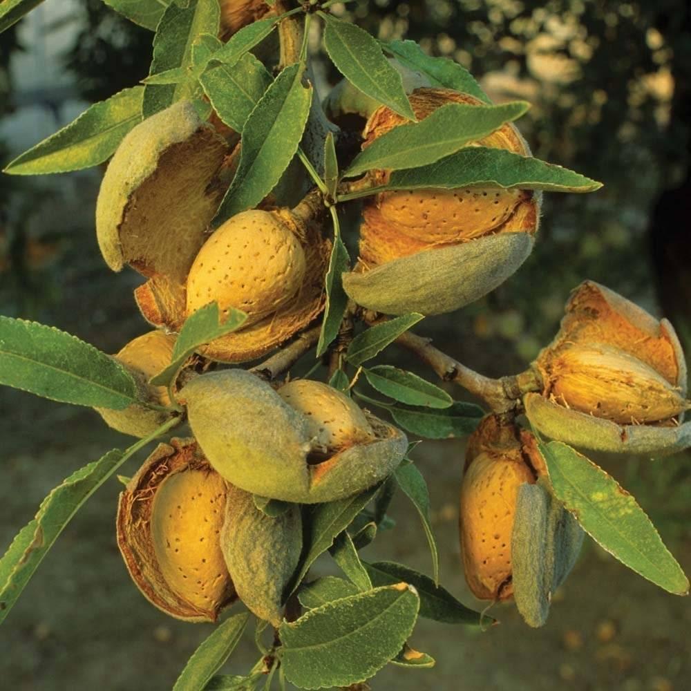 Дерево миндаль: фото, описание, как выглядит миндаль и как вырастить дерево и как за ним ухаживать