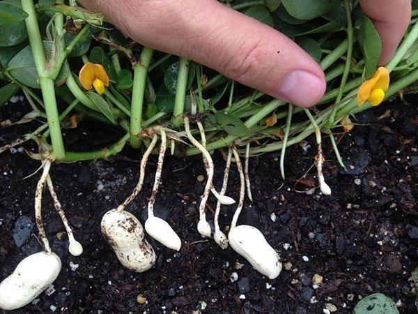 Как правильно посадить и вырастить арахис на даче?
