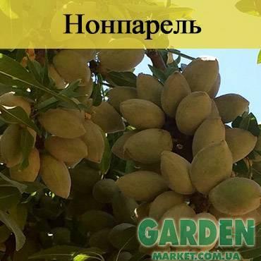 Ароматный миндаль Нонпарель: описание, характеристика, выращивание сорта