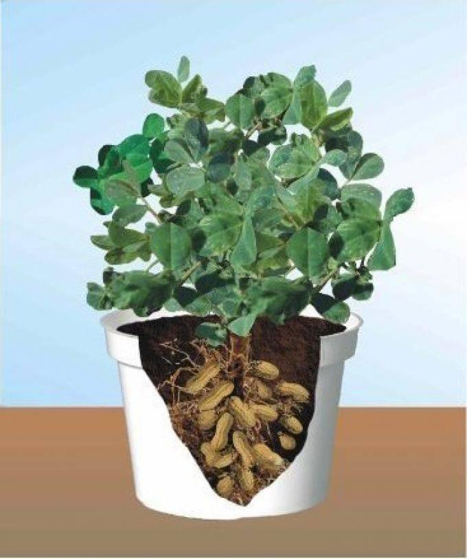 Где растет арахис и как вырастить его в домашних условиях