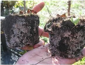 Что такое микориза и в чем его польза для растений