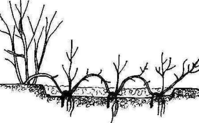Выращивание и уход за фундуком: как правильно вырастить дерево из орешка, саженца в открытом грунте, как посадить в домашних условиях, в чем разница с лесным орехом?