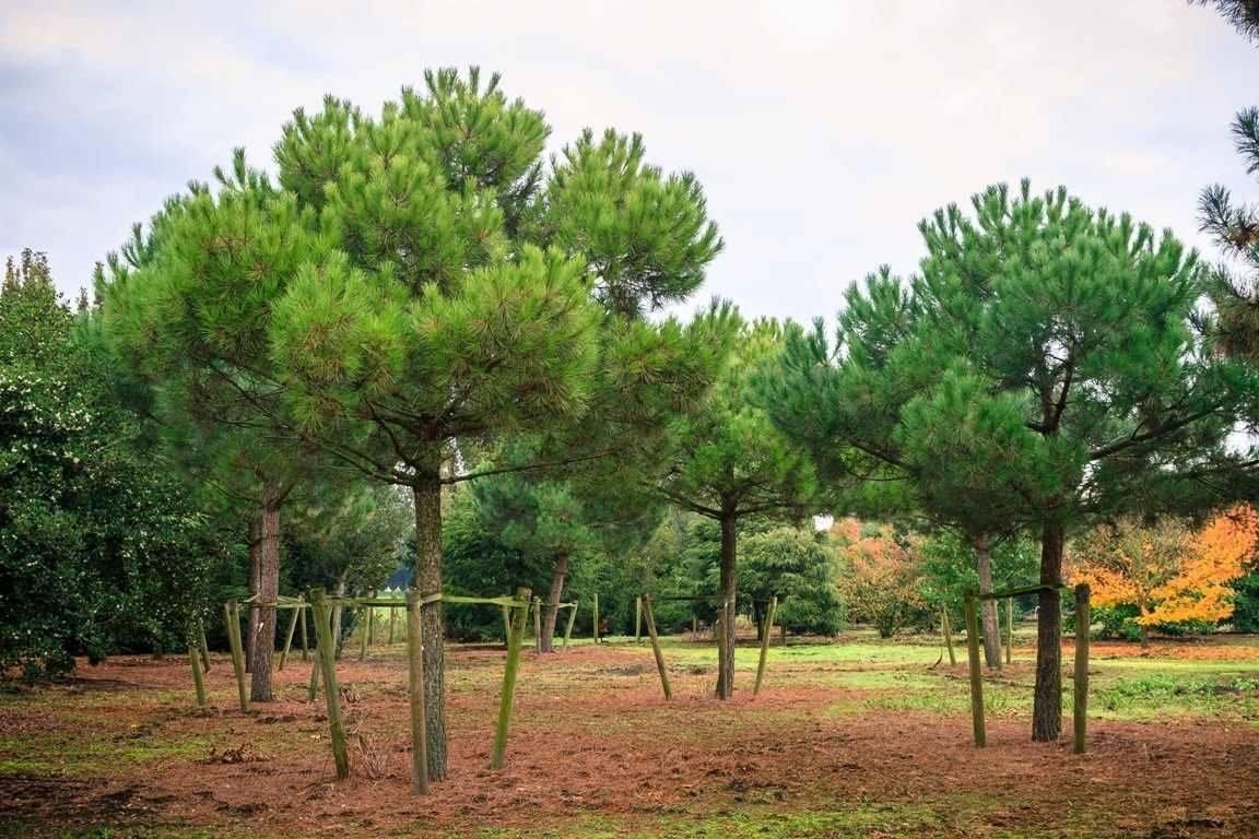 Сосна сильверкрест (silvercrest): уход и выращивание, описание, фото