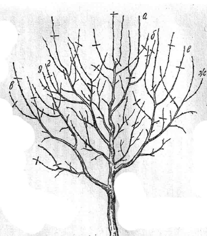 Грецкий орех обрезка формирование кроны - сад и огород