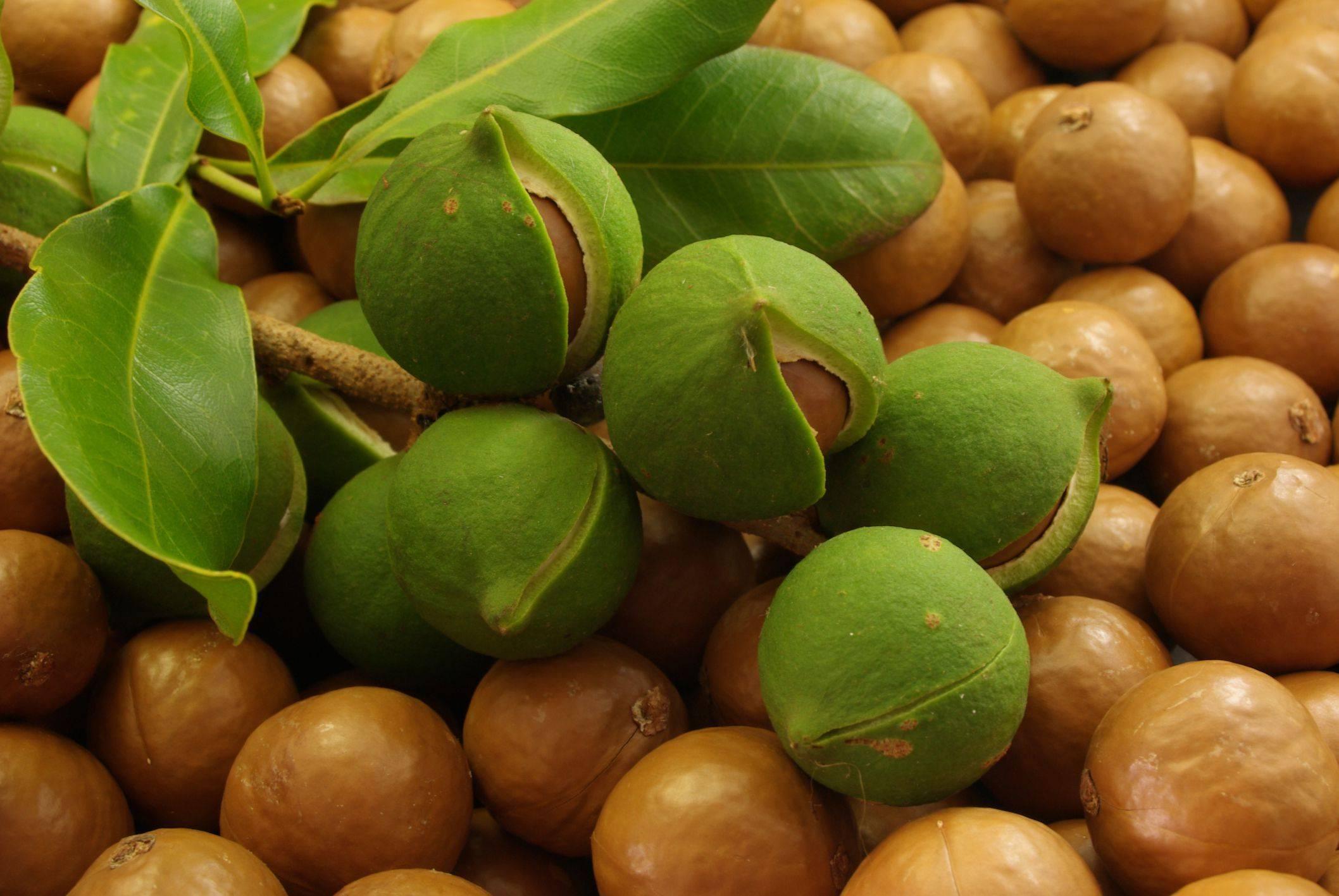 Макадамия орех полезные свойства и противопоказания, как выглядит