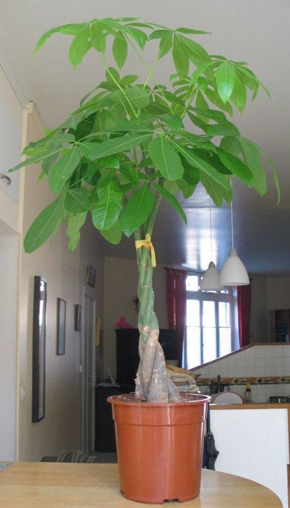 Растение пахира акватика или денежное дерево уход в домашних условиях размножение черенками