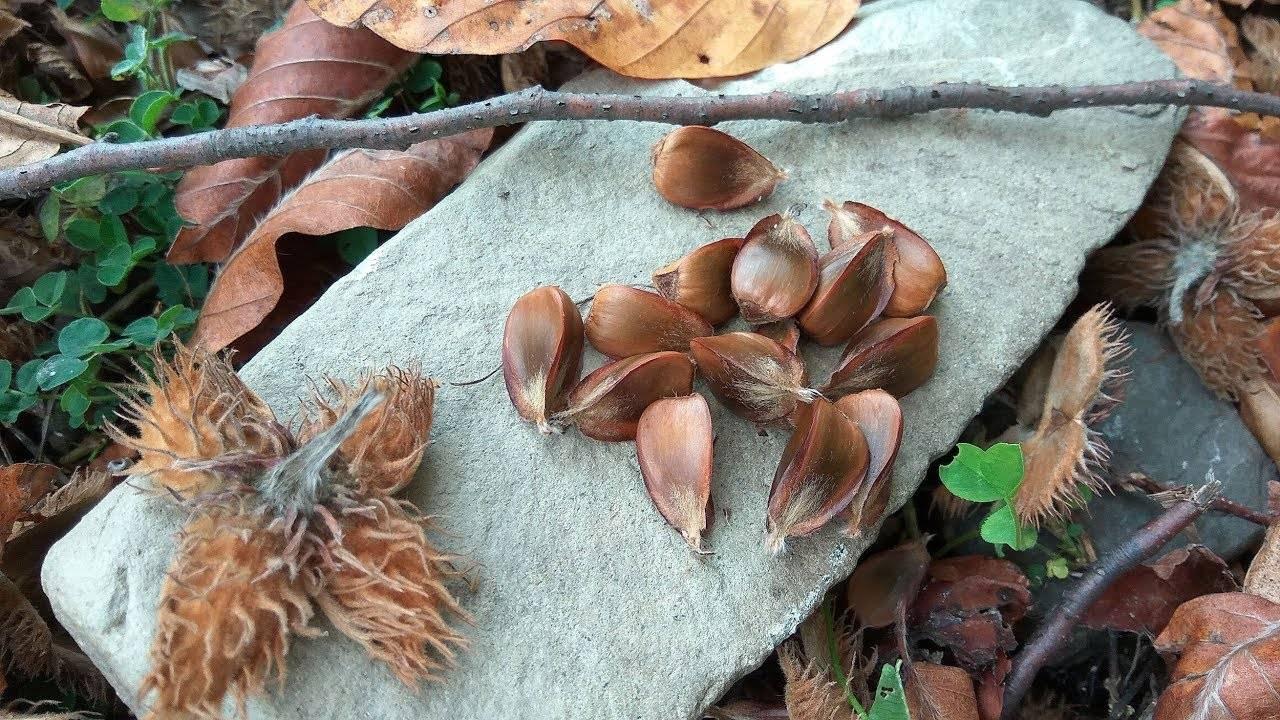 Буковый орех (чинарик) - описание, полезные и вредные свойства, состав, калорийность, применение, фото
